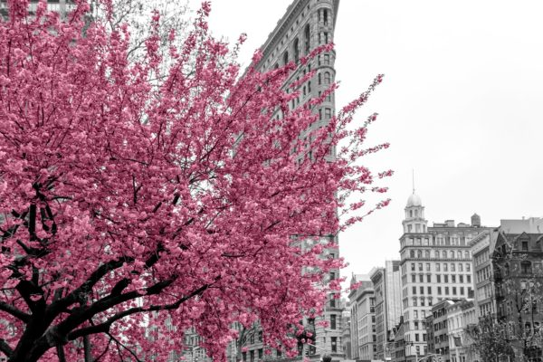 Pink flowers blossom on a tree in a black and white cityscape sc