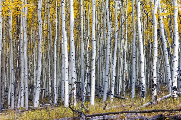 Golden Aspen Tree Forest in Fall
